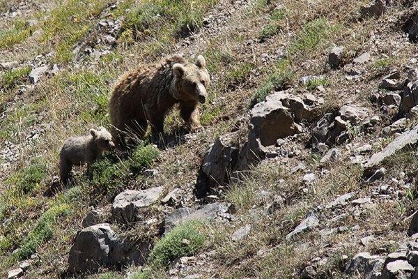 گردشگران به زیستگاه خرس قهوه ای سبلان نزدیک نشوند