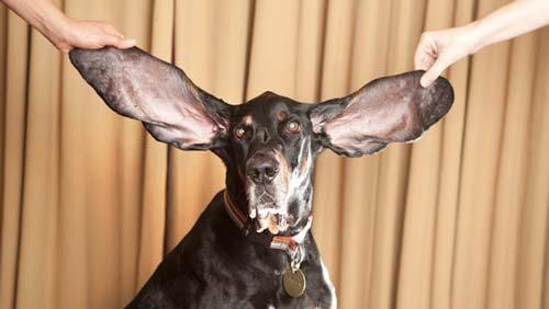 دراز گوش ترین سگ دنیا